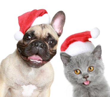 French bulldog and grey kitten in red christmas cap on a white b